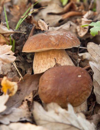 Funghi small